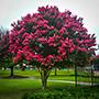 Tuscarora Crape Myrtle Tree in Bloom