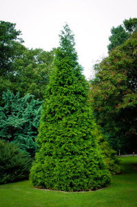Thuja Green Giant