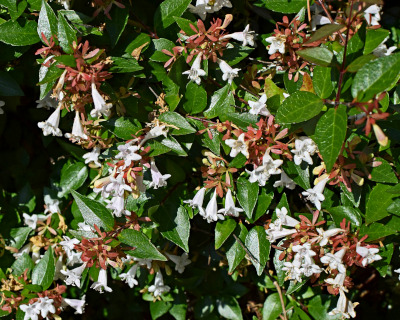 Abelia Shrubs For Sale Buy Abelia Plants The Tree Center