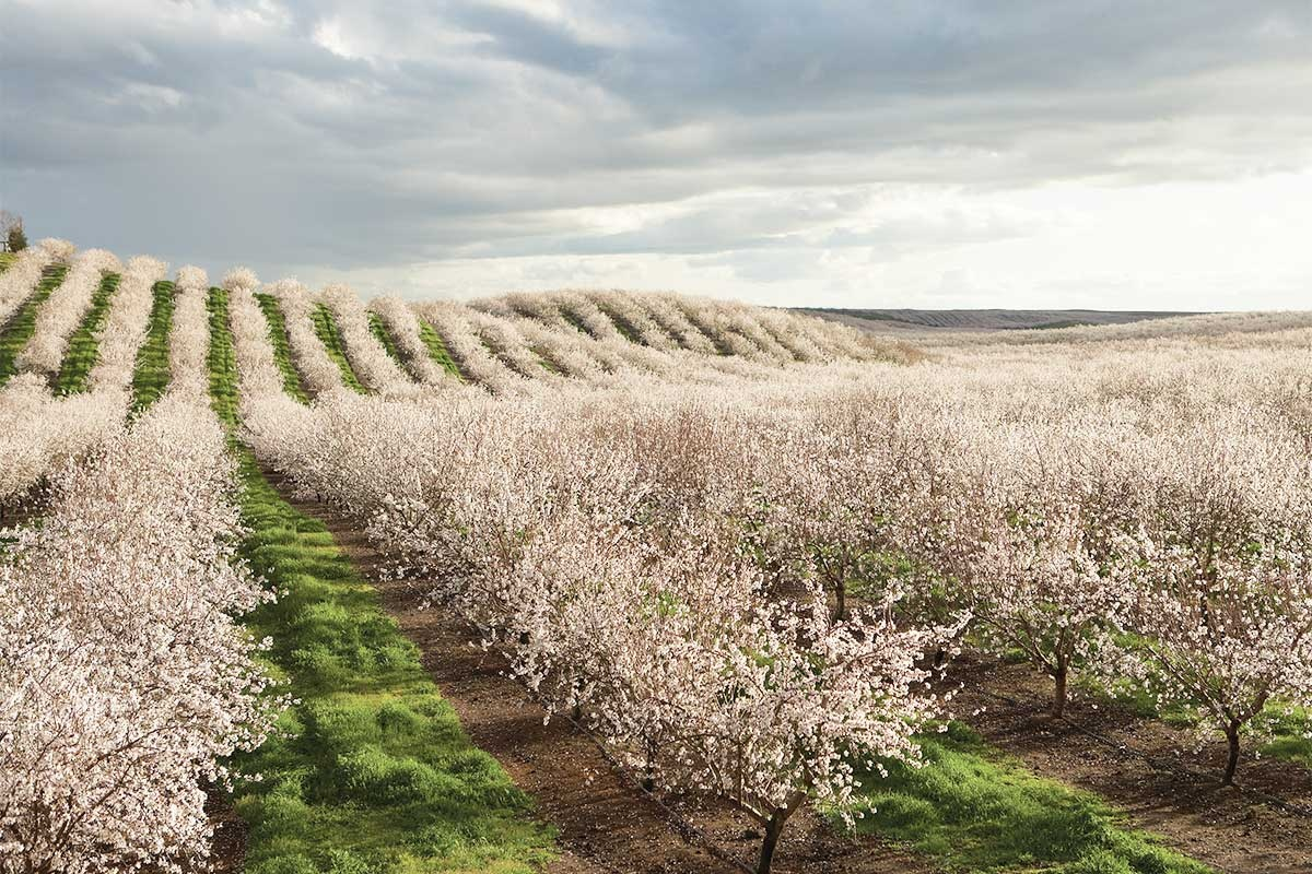 almond-trees-flowering