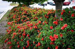 Autumn Embers Encore Azalea Ground Cover