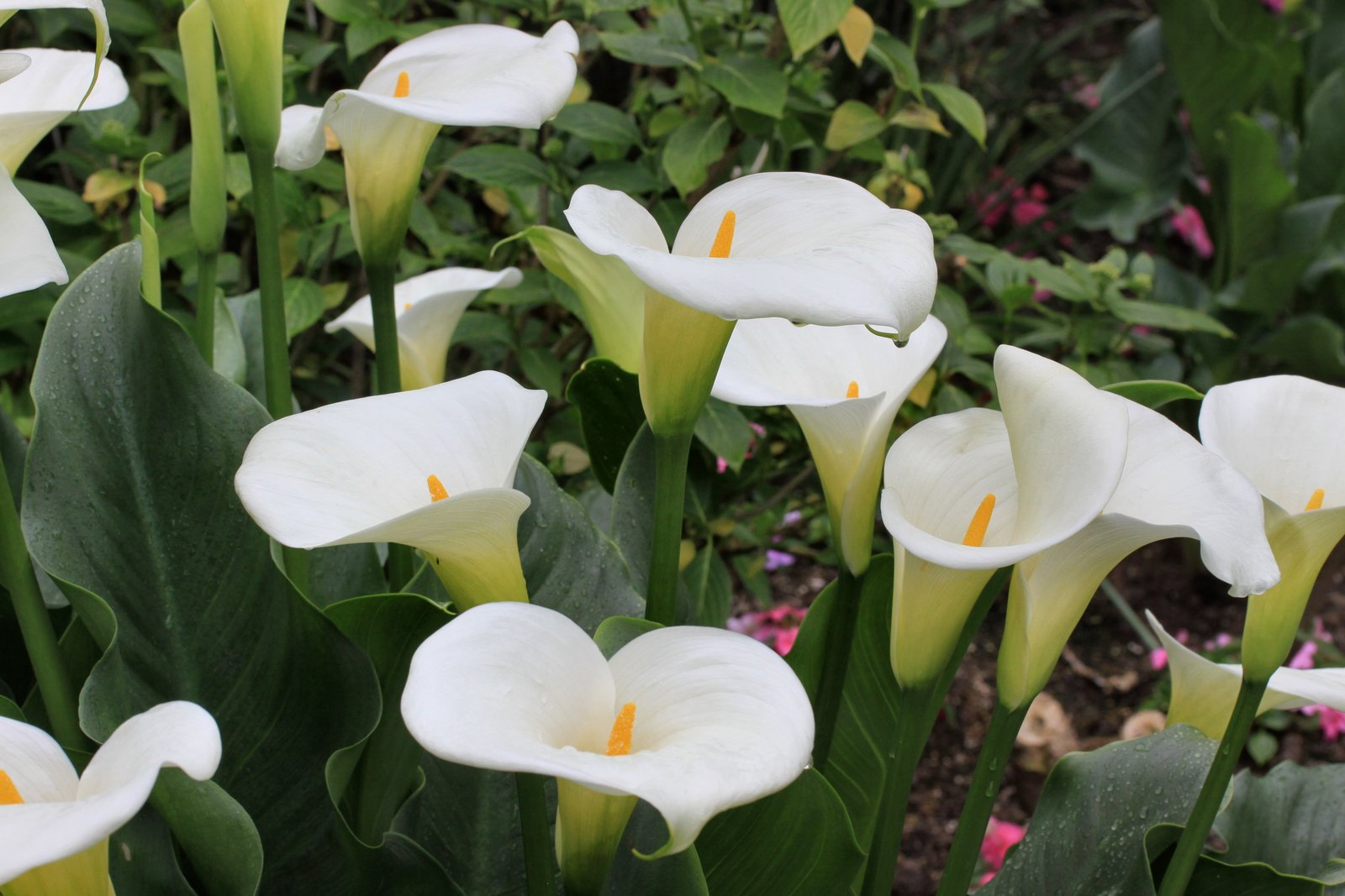 Calla Lily The Tree Center
