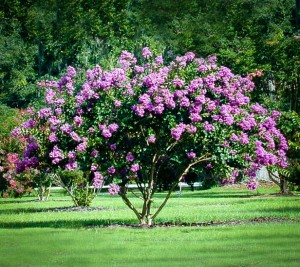 Catawba Crape Myrtle Tree In Field