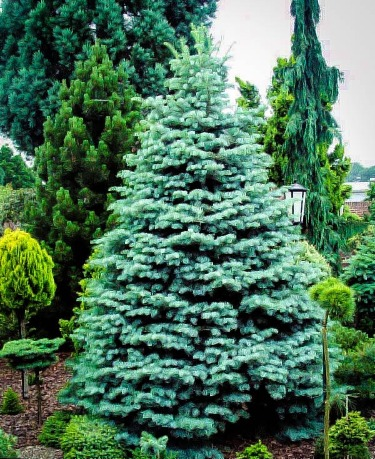 Types Of Evergreen Trees   The Tree Center™
