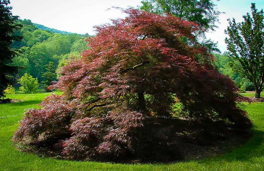 Crimson Queen Japanese Maple The Tree Center