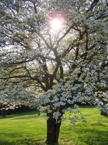 Dogwood Tree Facts Everything You Need To Know About Dogwoods