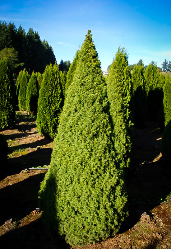 Dwarf Alberta Spruce The Tree Center