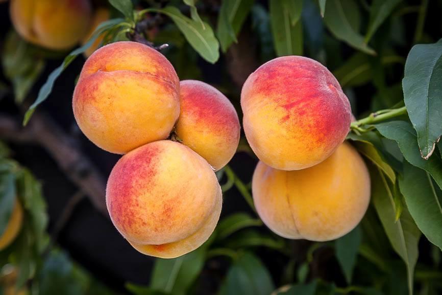 Elberta Peach Tree | T...