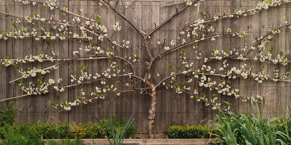 espalier-fig-tree
