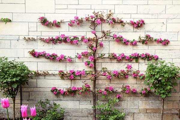 espalier-flowering-tree