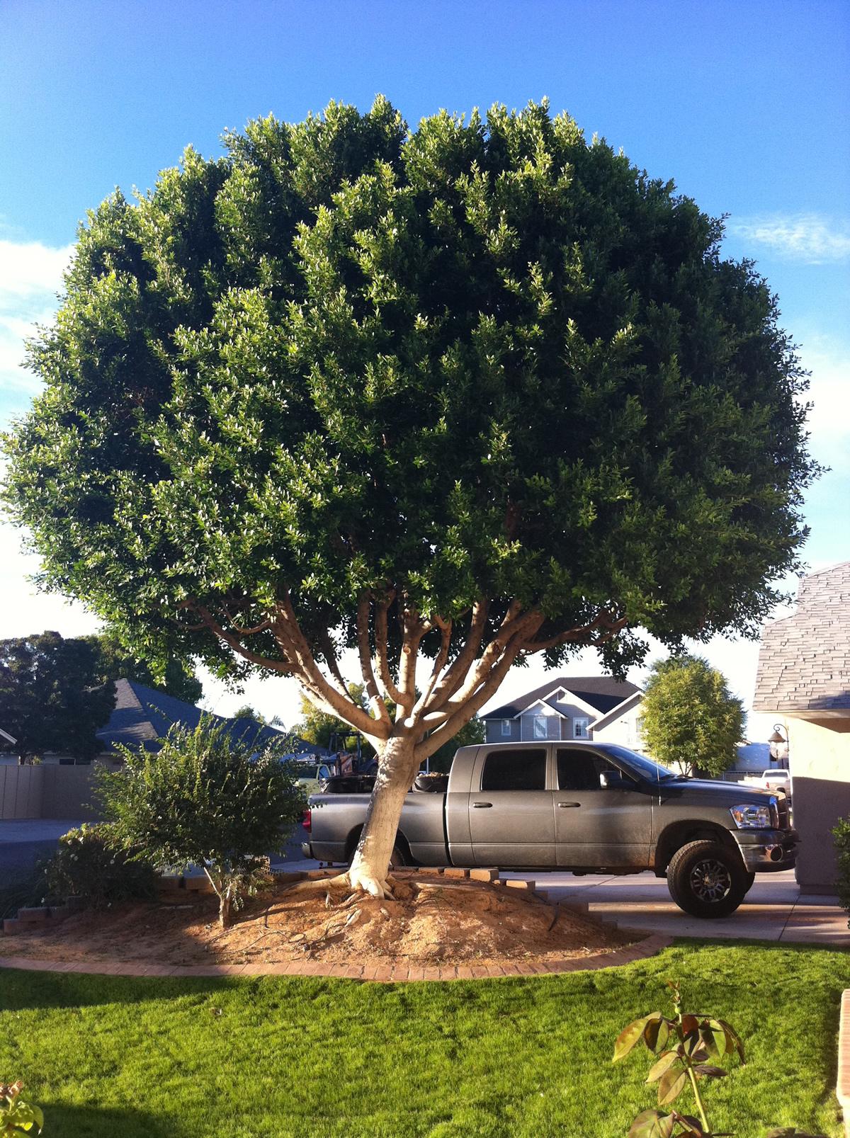 Ficus Tree The Tree Center