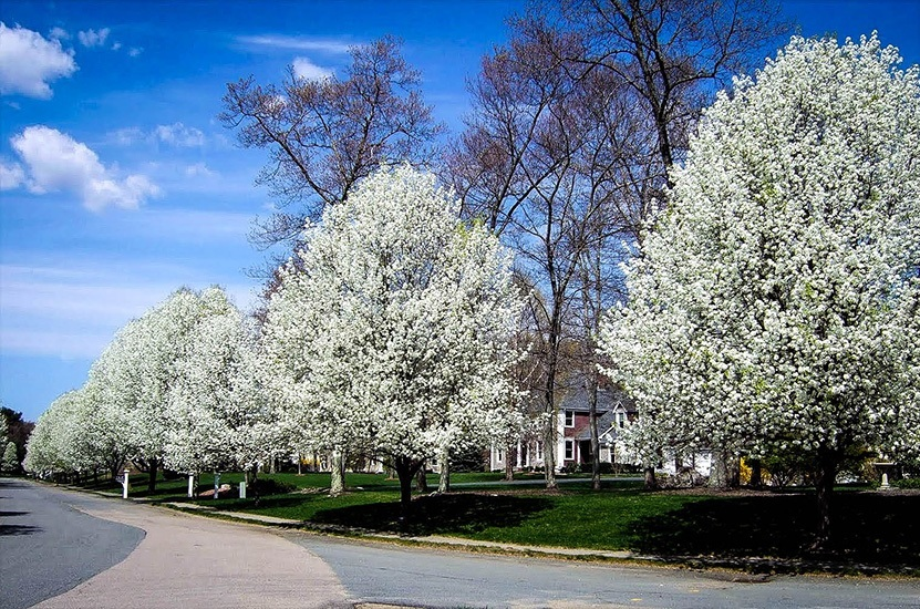 Cleveland Flowering Pear Row