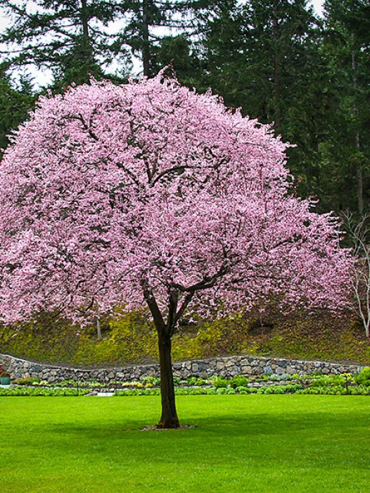 buy flowering plum trees online the tree center�