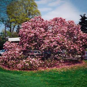 Flowering Trees Best Flowering Trees To Buy The Tree Center