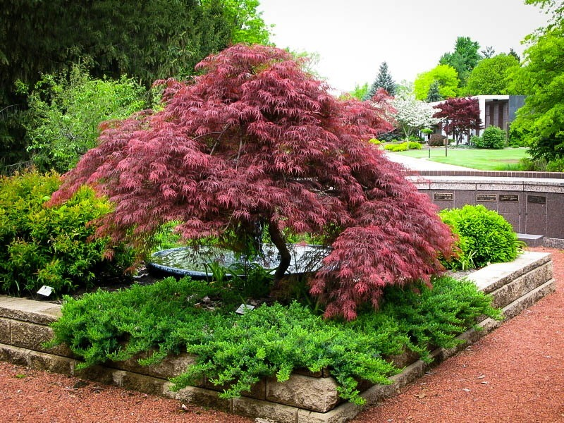 Plants for a japanese garden the tree center for Garden design with japanese maple