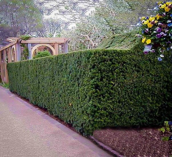 Hicks Yew The Tree Center