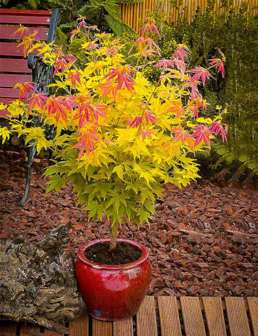 How To Plant Japanese Maples The Tree Center