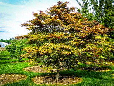 Classic Trees For A Japanese Garden The Tree Center