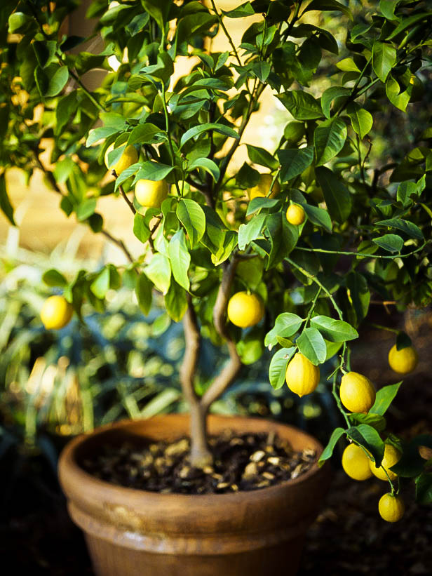 Lemon Tree Container