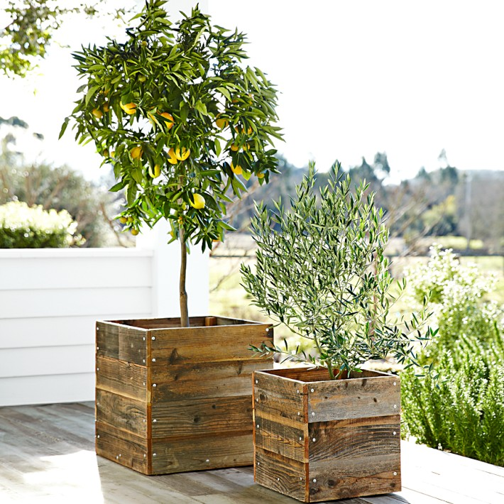 growing citrus trees in pots