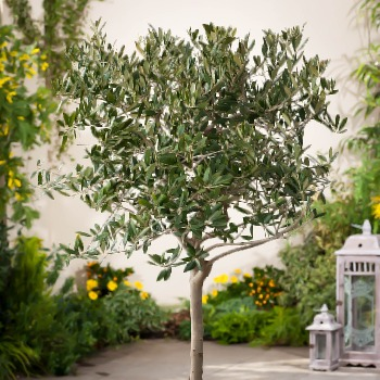 Olive Trees For Sale Buy Olive Trees Online The Tree Center