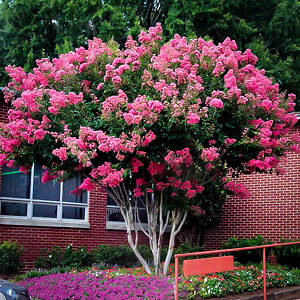 8+2 cuttings Beautiful Red Pink Raspberry Crepe Myrtle Crape Tree Lagerstroemia