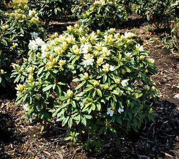 Buy Rhododendrons Order Rhododendrons Online The Tree Center