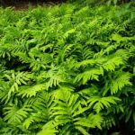 Sensitive Fern Plant