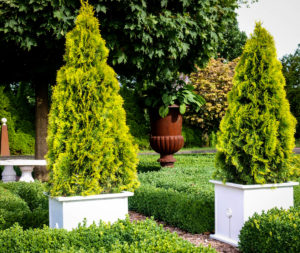 Thuja Container Plant
