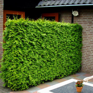 Thuja Hedge