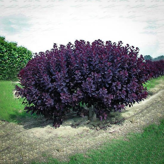 Velvet Cloak Smoke Tree For Sale Online The Tree Center