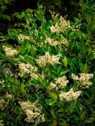 Privet – the Good, the Bad and the Beautiful | The Tree Center™