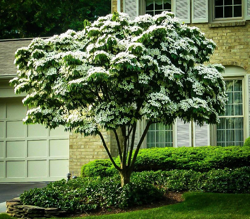 White Kousa Dogwood The Tree Center